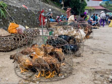 Coqs, poules, canards