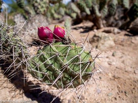 Le fruit de ce cactus est délicieux notamment en jus frais