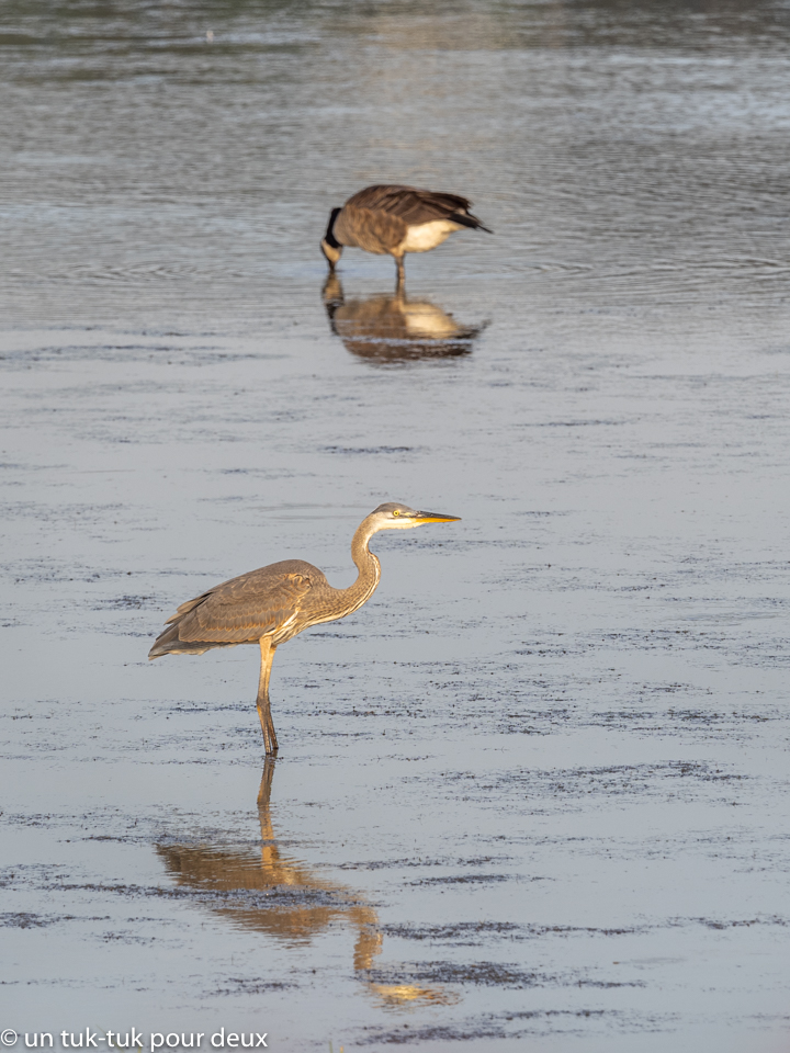 Grand Héron, Site ornithologique du marais de Gros-Cacouna