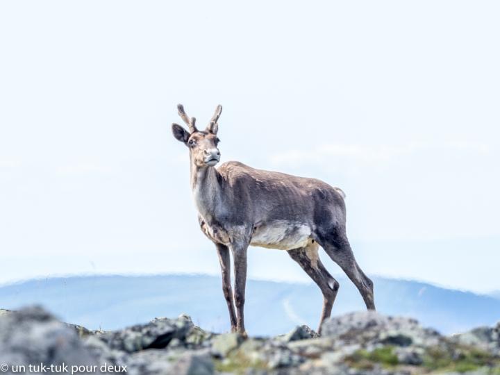 Caribou, Sommet du Mont-Jacques-Cartier